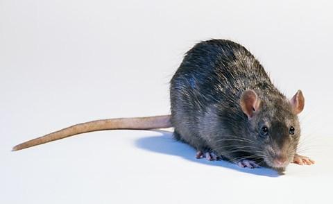 rat_stew_fear_factor