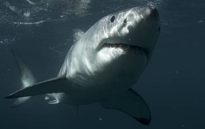 Great White Shark, New Zealand